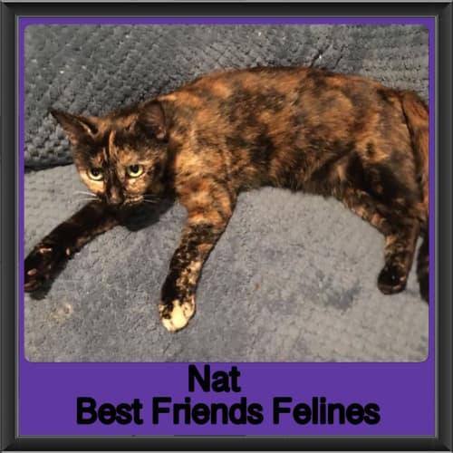 Nat  - Domestic Short Hair Cat
