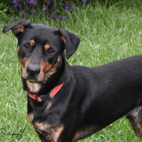 Buddy ** Loyal Loving Pup ** - Greyhound x Kelpie Dog