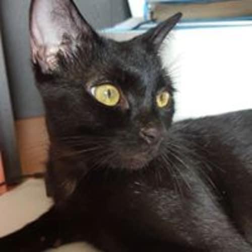 Maleena - Domestic Short Hair Cat