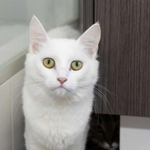 Demi  - Domestic Medium Hair Cat
