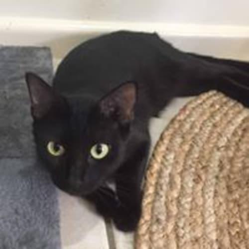 Florida - Domestic Short Hair Cat