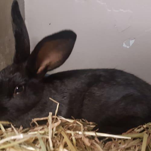 Short black - Rex Rabbit