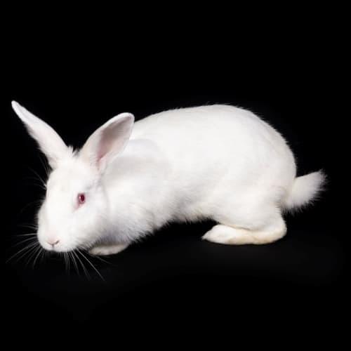 Elsa - Rex Rabbit