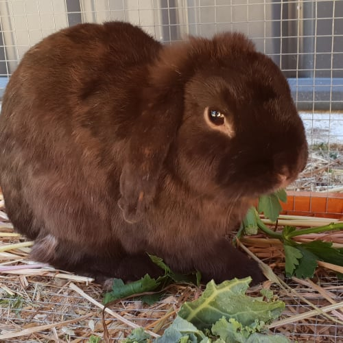 Martin - Lop Eared Rabbit