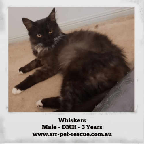 Whiskers - Domestic Medium Hair Cat