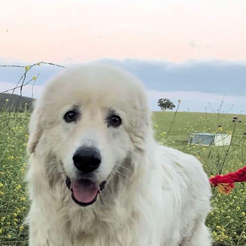 Freddie (companion dog/large block acreage) - Maremma Sheepdog