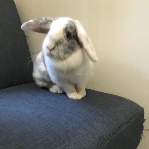 Lucy - Dwarf lop Rabbit