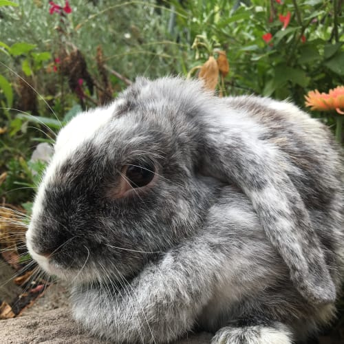Blackbean - Dwarf lop Rabbit
