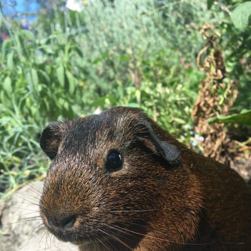 Pip - Smooth Hair Guinea Pig