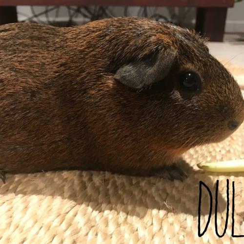 Dulcie  - Smooth Hair Guinea Pig