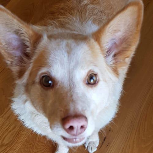 Roxy our lovely lady - Australian Cattle Dog
