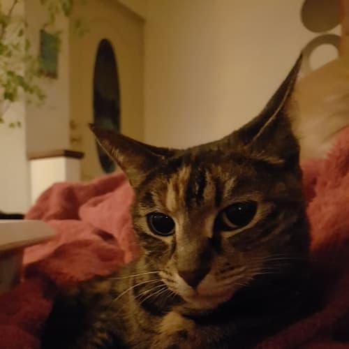 Susan - Domestic Short Hair Cat