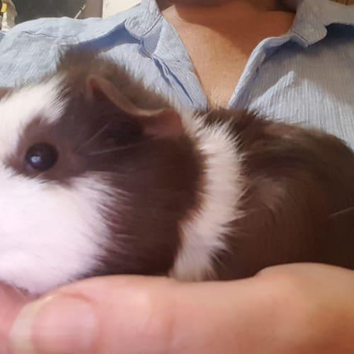 Truffle -  Guinea Pig