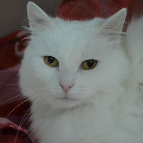 Snow - Domestic Medium Hair Cat