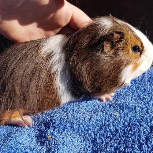 Persephone & Teddy -  Guinea Pig