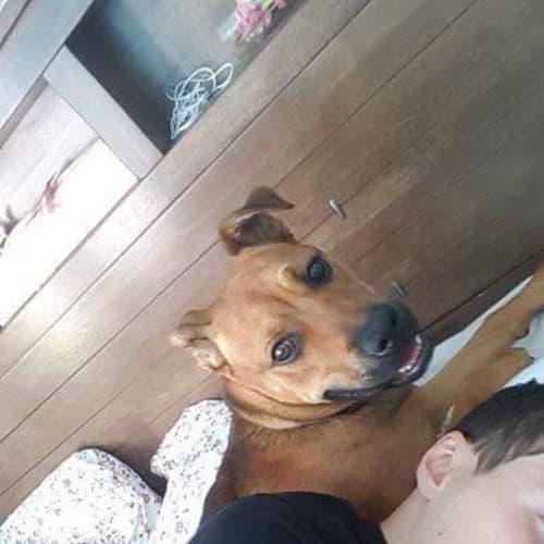 Bonnie - American Staffordshire Terrier x Ridgeback Dog