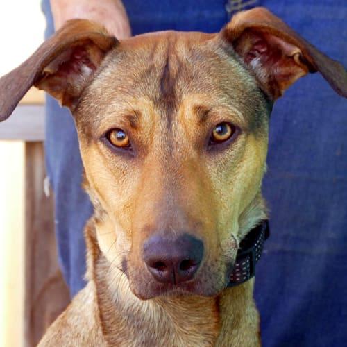 Kuni - Greyhound Dog
