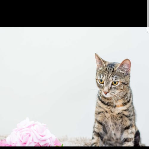 AK2856 - Blossom - Domestic Short Hair Cat