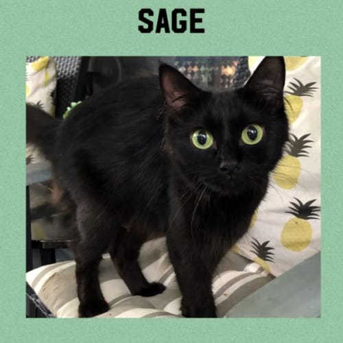 Sage - Domestic Medium Hair Cat