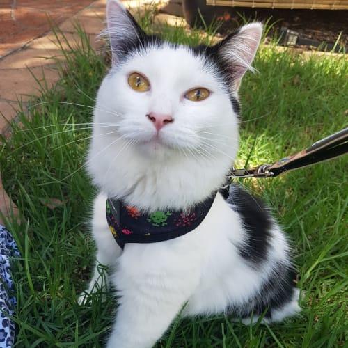 Sadie - Manx Cat