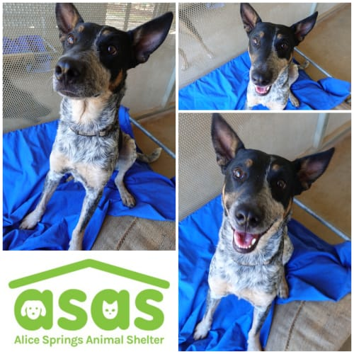 Freddi  DG18-555 - Australian Cattle Dog