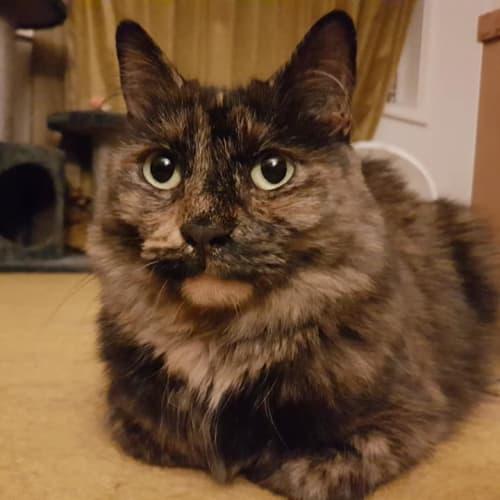 Rosi (Located in Noble Park North) - Domestic Medium Hair Cat