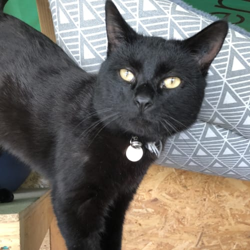 Midnight - British Shorthair Cat