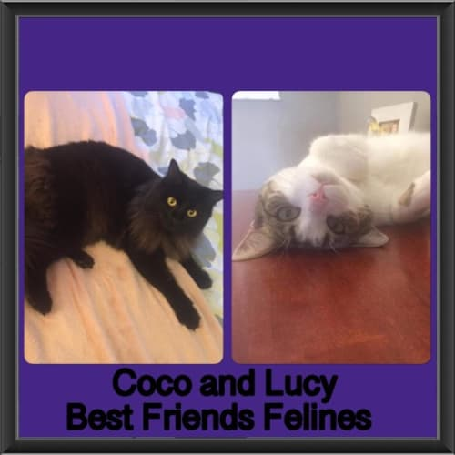 Coco and Lucy  - Domestic Long Hair Cat