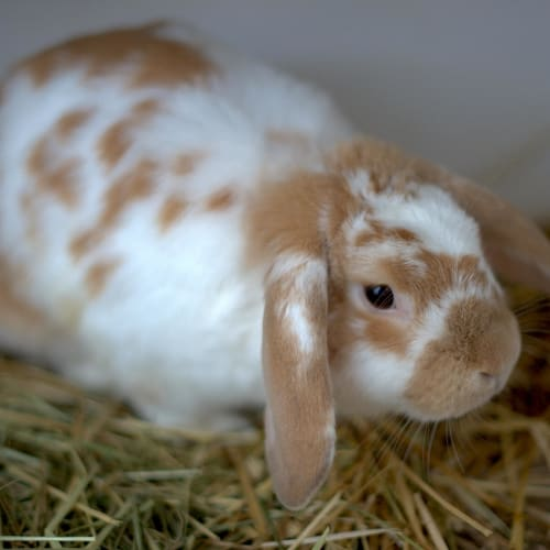 Ant - Lop Eared Rabbit