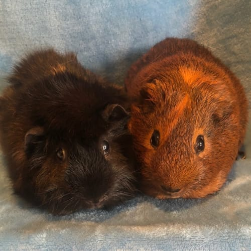 Woz and Angus - Abyssinian x Satin x Smooth Hair Guinea Pig