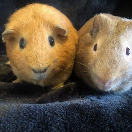 Slurpee and Ash - Satin x Smooth Hair Guinea Pig