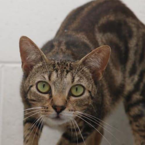 Yambo  910672 - Domestic Medium Hair Cat