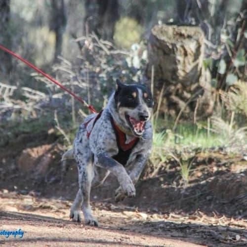 Patch - Australian Cattle Dog