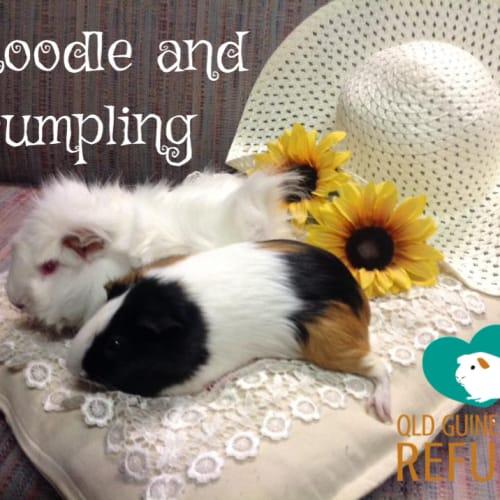 Noodle and Dumpling - Abyssinian Guinea Pig