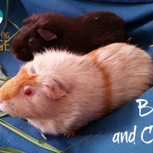Bruno and Choco - Smooth Hair Guinea Pig