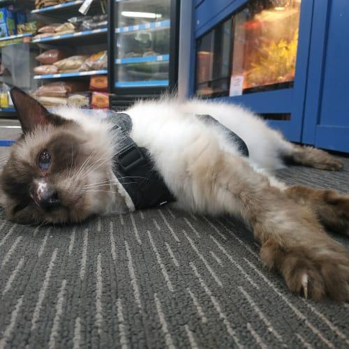 Oscar - Dignified Gent - Ragdoll Cat