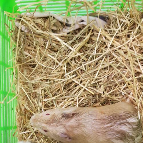 Jasper - Abyssinian Guinea Pig