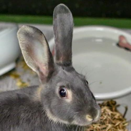 Storm 910483 - Domestic Rabbit