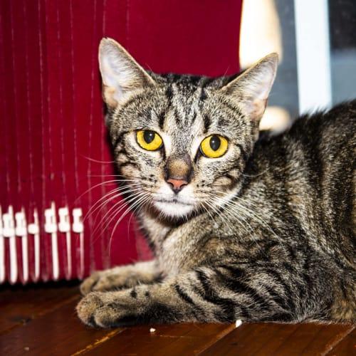 Mumma Girl ~ 8 month old Tabby - Domestic Short Hair Cat