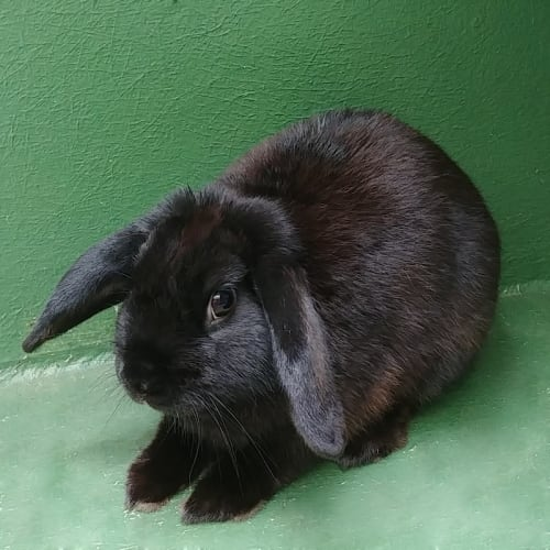 Carlton - Domestic Rabbit