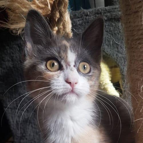 Origami - Domestic Short Hair Cat