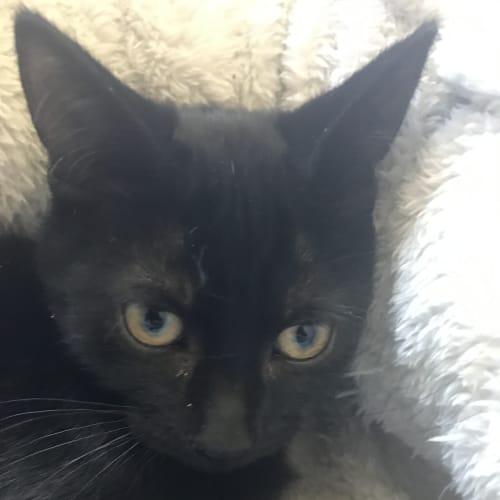 Baghera - Domestic Short Hair Cat