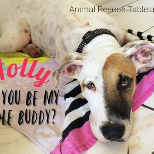 Holly - Bull Arab Dog