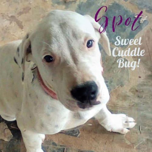 Spot  - Bull Arab Dog