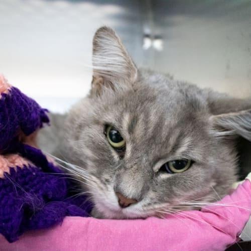 Chief - Domestic Medium Hair Cat