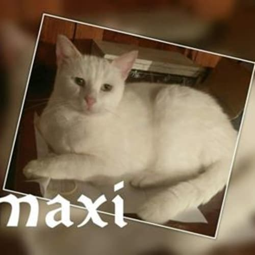 Maxi - Domestic Short Hair Cat