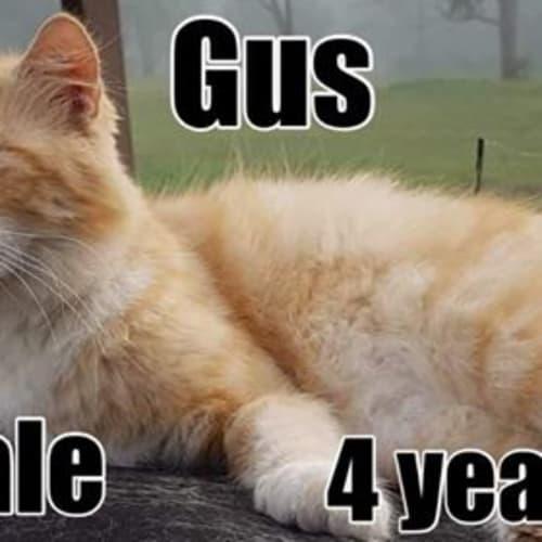 Gus - Manx Cat