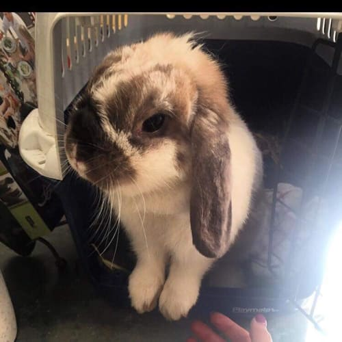 Patches  - Lop Eared Rabbit