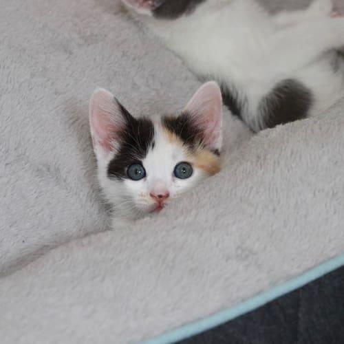 Fifi - Domestic Short Hair Cat