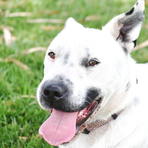 Tullulah - Shar-Pei x Australian Cattle Dog